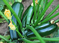 Zucchini Black Beauty - One of the Most Productive Zucchini Variety - 8 Seeds