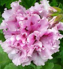 Geelong Covention Regal Pelargonium x 1 Plant ------------------------- Geranium
