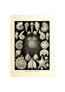 Sea Shell Poster | Marine life Illustration Art Ernst Haeckel,1904