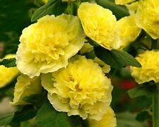 30+ Alcea Double Golden Yellow Hollyhock Flower Seeds / Perennial