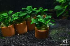 Anubias nana in Terracotta Pot - Live Aquarium/Fish Tank Plant