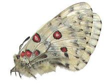 Mariposa parnassius