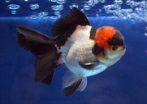 live goldfish fancy beautiful fish oranda rad head TRI COLOR aquarium Premium