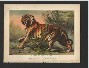 Antique Color Plates (1880) – Royal Bengal Tiger