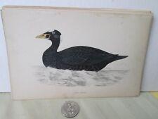 Vintage Print,SURF SCOTER,Morris British Birds,c1870