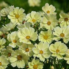 Cosmos-Xanthos - 30 semillas