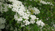5 Hawthorn Hedging Plants, 4-5ft Hedges, Native Hawthorne, Quickthorn, Mayflower