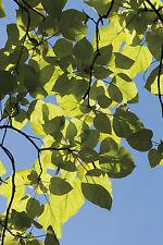 Gold Trompetenbaum im Kleincontainer