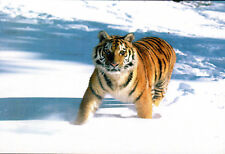 New ListingTiger Cat Wild Animal Postcard Mint Condition Ref: Cat39