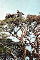 B98554 osprey balbuzard  bird oiseau  animals animaux