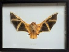 REAL DRIED BAT TAXIDERMY KERIVOULA PICTA IN SHADOWBOX FRAME