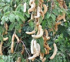 100 Seeds sour Tamarind Tree Fruit Plants Tropical Thai Organic Garden Outdoor