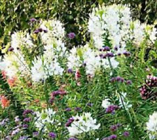 Cleome Spider Flower 50 Seeds White Queen Butterflies  Hummingbirds Beautiful!