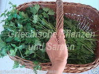 italienische Petersilie smooth Giant leaves 30 cm high 100 fresh seeds Balcony
