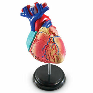 Learning Resources Heart Anatomy Model
