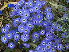 100 grams Swan River Daisy (Brachyscome iberidifolia - Blue) Wildflower Seed