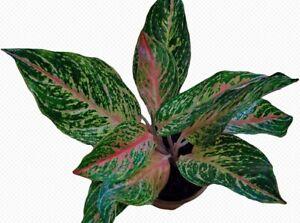 Aglaonema flowers Beautiful Mosaic Perennial rare plants home garden 100 seeds