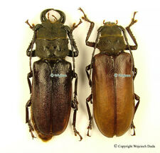 Gnathonyx piceipennis - pair, nice, 57mm and 51mm