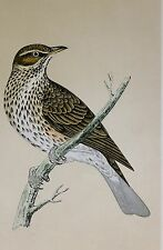 c1875 ANTIQUE PRINT ~ REDWING ~ HAND COLOURED British Birds Morris
