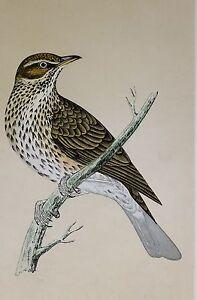 c1875 ANTIQUE PRINT ~ REDWING ~ HAND COLOURED British Birds Morris