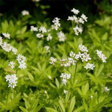 Waldmeister (Asperula odorata/Galium odoratum) Tee   Duft   aromatisch   robust