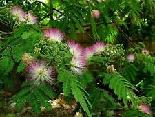 PESIAN SILK TREE SEEDS ALBIZIA JULIBRISSIN GARDEN POT EXOTIC EDIBLE 10 SEEDS