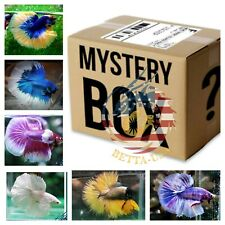 Betta Fish Surprise Box  2 OR MORE- LIVE BETTA FISH HALFMOON MALE HIGH QUALITY.
