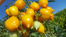 10 graines de tomate rare Jardin D'agrumes froid tolérants tomato seeds bio