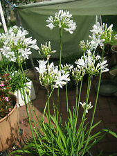 agapanthus white dwarf  x 5 flowering size plants 3 + years .
