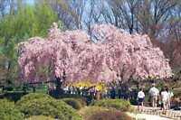 Weeping Higan Cherry, Prunus subhirtella pendula, Tree Seeds (Fast, Showy)