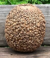 Heirloom BLISTER BULE Gourd❋10 SEEDS❋Decorations❋Crafts❋COMBINE S/H*