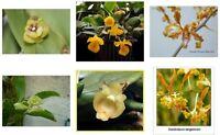Special Offer - Rare orchid species seedlings - Dendrobium Phalaenopsis Cattleya