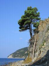 Pinus brutia var. Pityusa :: Rare plant :: Endemic plant :: 30 seeds
