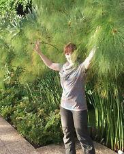 Riesengras  Schnellwüchsiger Papyrus für den Blumentopf & Garten / Saatgut Deko