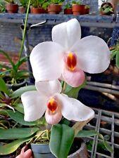 Paphiopedilum Armanii White orchid species plant BLOOM SIZE Thailand CITES