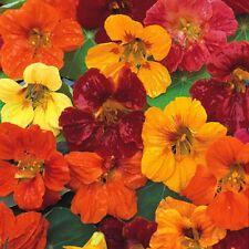 Nasturtium Whirlybird Mix - Tropaeolum - 25 seeds - HH Annual