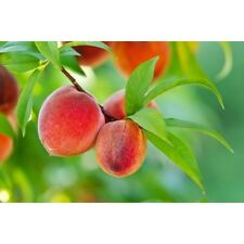 "Self-pollinating Yearling ""Harvester"" peach; pick mid-June"
