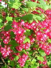 RIBES Flowering Currant King Edward  4L Potted 4-5ft Shrub Hedge Deep Pink