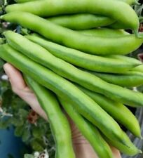 Long Pod Broad Bean 50 Seeds / Fava Bean Seeds QLD Organic POST WITH TRACKING