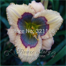 5 seeds Hybrid Daylily Seeds Awesome Cross BLUE DESIRE X VERTICAL HORIZON