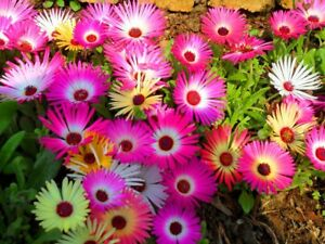 10,000+ ICE PLANT Seeds HEIRLOOM Livingstone Organic BULK Easy Groundcover Heat