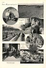 Asparagus season XL 1925 page with 7 images harvest helper Germany +