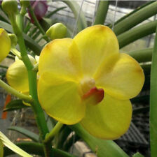 Vanda Yellow Butterfly, orchid plant