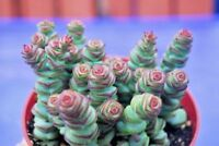 "Crassula jade necklace 2 cuttings 2-6"" each rooted with off sets"