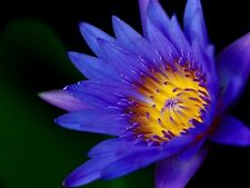 Blue Egyptian Water Lily Flower Plant seeds Nymphaea Caerulea Seed Packet, FL040