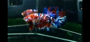 (Unique Color) Premium Live Betta  Male Big Giant Red Galaxy Star From Thailand