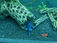 "L239 Blue Panaque Pleco 3"" AVG with free shipping within continental U.S."
