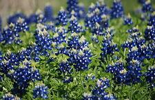 Texas Bluebonnet Seeds, Bulk Bluebonnet Seeds, Heirloom Wildflower Seeds 400ct