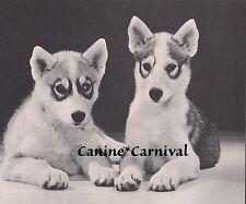 Siberian Husky Huskies Sled Eskimo Dog 1969 Vintage Dogs Photo Art Print
