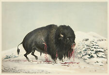 George Catlin's Indian Gallery: Wounded Buffalo in the Snow - Fine Art Print